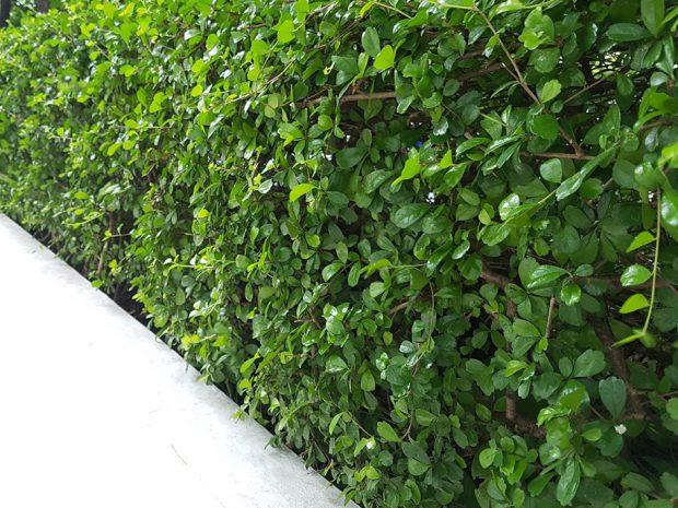 ปลูกต้นไม้ติดกำแพง